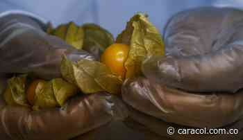 Cultivadores de Uchuva en Chipaque se unieron para reactivar producción - Caracol Radio