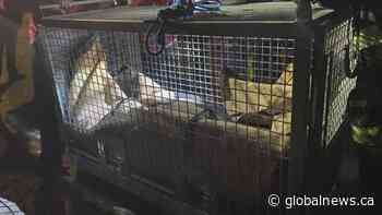 Sad ending to marathon sea lion rescue off Nanaimo