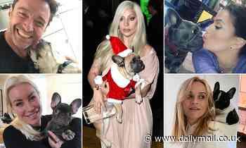 Why celebs like Lada Gaga love French Bulldogs