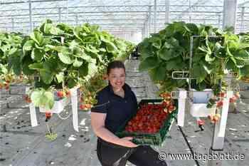Erdbeer-Ernte in den hängenden Gärten des Alten Landes läuft an - Jork - Tageblatt-online