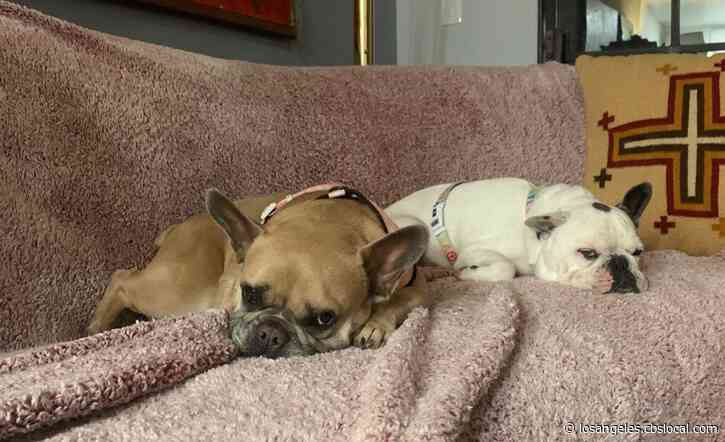 LAPD: Lady Gaga's French Bulldogs Safely Recovered