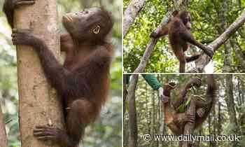 Rescued five-year-old orangutan Kukur learns to climb again