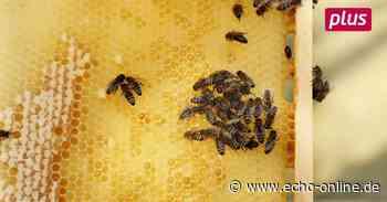 Die Bienen starten in Darmstadt in die Saison - Echo Online