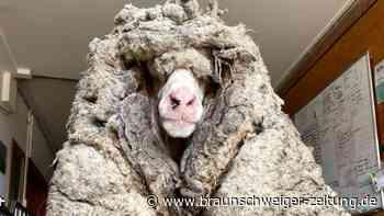 Tiere: Schaf nach Jahren von mehr als 35 Kilo Wolle befreit