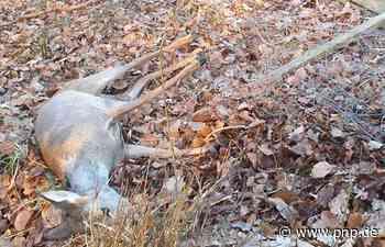 Tiertragödie am Hochberg: Trächtige Rehgeiß stirbt im Zaun - Passauer Neue Presse