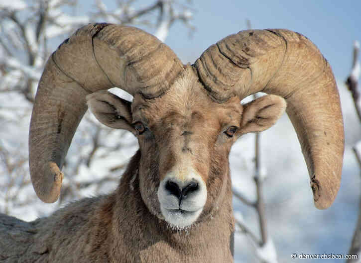 Mountain Lions Thwart Planned Relocation Of Bighorn Sheep