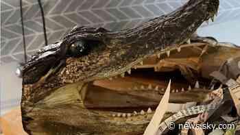Eighty alligator heads seized in police raid on house in Birmingham - Sky News