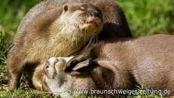 Verspielt: Warum spielen Otter mit Steinen? Projekt in Tübingen