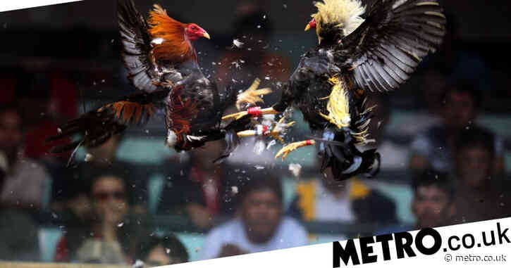 Cockfighting rooster fitted with knife kills owner after slashing groin