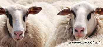 Vineuil : 80 moutons disparaissent, un appel à témoin est lancé - sweetfm.fr