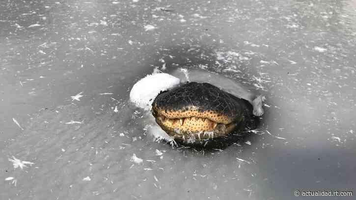 Así sobreviven los caimanes atrapados en los pantanos congelados de EE.UU. - RT en Español