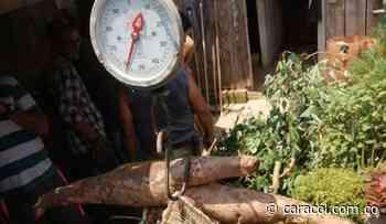 En Puerto Boyacá cosechan una mata de yuca de 75 kilos - Caracol Radio