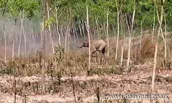 Fearless elephant calf protects its mother by charging at vets