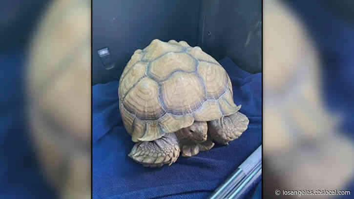 Owner Sought After Large Tortoise Found Crossing Santa Anita Avenue In Arcadia