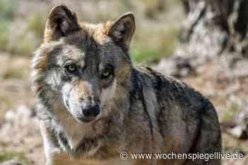 Neue Wolfsnachweise in der VG Adenau und bei Remagen - WochenSpiegel