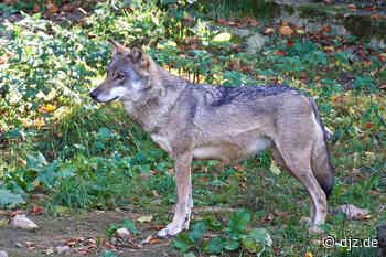 RLP: Neue Wolfsnachweise in der Ahreifel und bei Remagen - DEUTSCHE JAGDZEITUNG