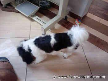 Leitora procura cachorrinha desaparecida em Itupeva. Filha pequena está doente. - Itupeva Agora