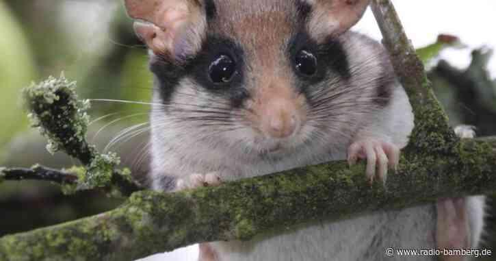 Bund Naturschutz ruft zur Suche nach Gartenschläfern auf