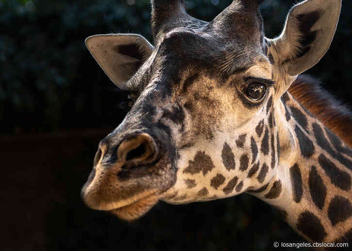 Los Angeles Zoo Giraffe, Hasina, Dies After Delivering Full-Term, Stillborn Calf