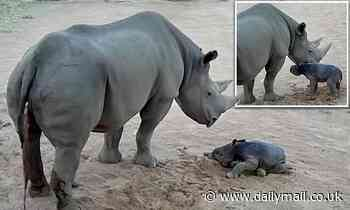 Black rhino calf takes her first wobbly steps at Taronga Western Plains Zoo in Dubbo