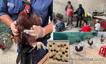 Crazed roosters seized in Sydney cockfighting raid attack humans