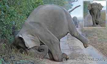 Indian elephant rubs its face in the Jim Corbett National Park