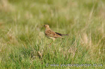 Skylarks could be lost from Richmond Park