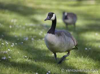 Vancouver park board wants help reducing Canada geese numbers