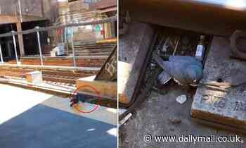 Pigeon who ran a-fowl of two angry birds is violently pushed onto NYC subway tracks
