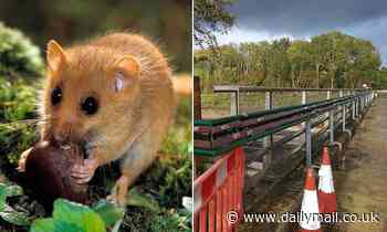 Dormice living beside the busy M1 get their own road crossing