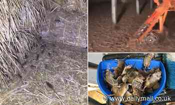 Shocking videos show mouse plague devastating country Australia