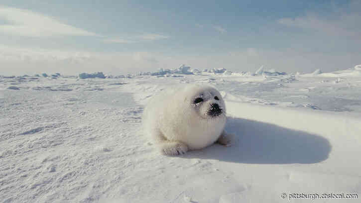 Scientists Say Harp Seal Pups Are Being Affected By Climate Change