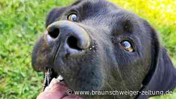 Salzgitter: Tierheimhund Scooby benötigt eine neue Hüfte