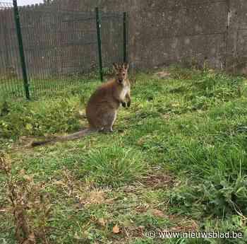 Wallaby Sam overleeft avontuur buiten zorgboerderij niet