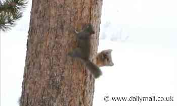 Squirrel gives hungry pine marten the slip