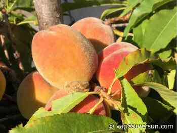 Brian Minter: Tips to easily grow your own fresh delicious peaches and nectarines
