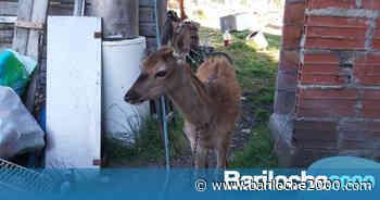 Tenían un ciervo de mascota - Bariloche 2000