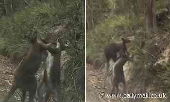 Two boxing kangaroos stage epic, brutal death match on side of the road in Tasmania