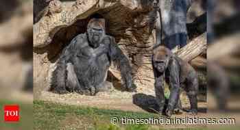 Covid-19: 9 great apes in San Diego become 1st non-human primates vaccinated