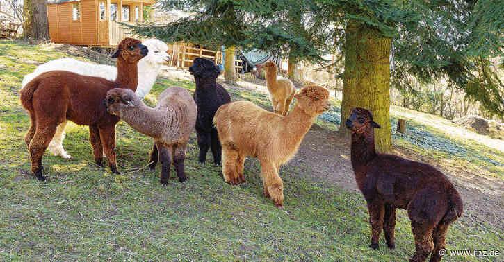 Heidelberg:  Alpakafarm Hirtenaue kämpft weiter um die Existenz