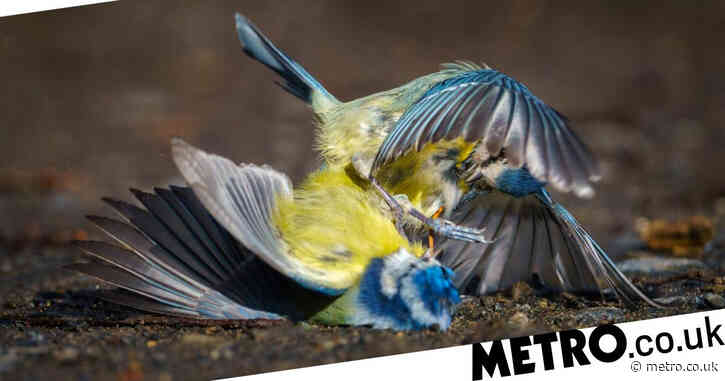 Massive tit fight breaks out in Scottish park