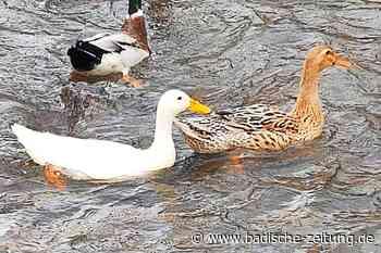 Diese weiße Elz-Ente bei Buchholz-Batzenhäusle ist ein seltener Vogel - Waldkirch - Badische Zeitung