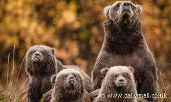 Mother grizzly and her cubs look up to the heavens as it starts to rain