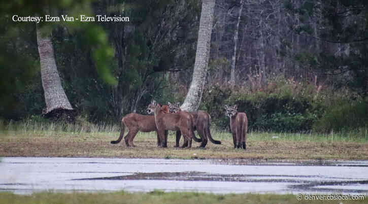 'I Was Physically Shaking': Florida Man On Seeing Four Endangered Panthers At Same Time