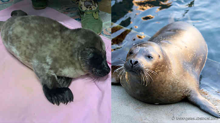 Harbor Seal Pup Found Abandoned In Laguna Beach Makes Big Move To New York Aquarium