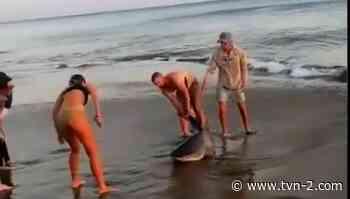 Liberan a tiburón que quedó atrapado en un anzuelo en Pedasí - TVN Noticias