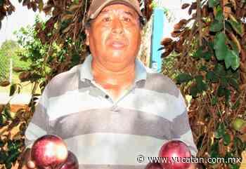 El caimito alcanza los 300 pesos por caja en Oxkutzcab - El Diario de Yucatán