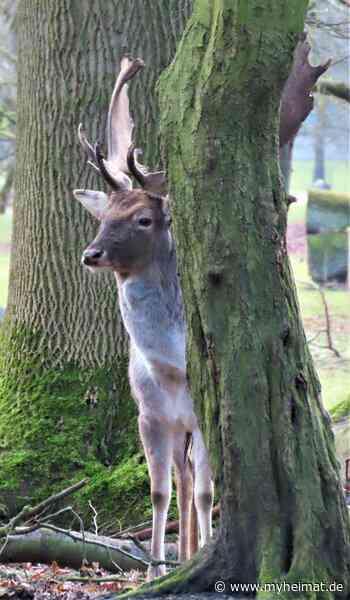 Wer schaut dort zaghaft hinter dem Baum hervor? - myheimat.de