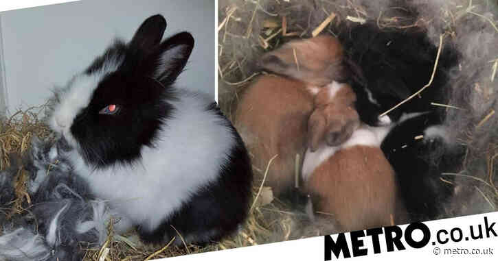 Rabbit found dumped by road gives birth to babies in charity care