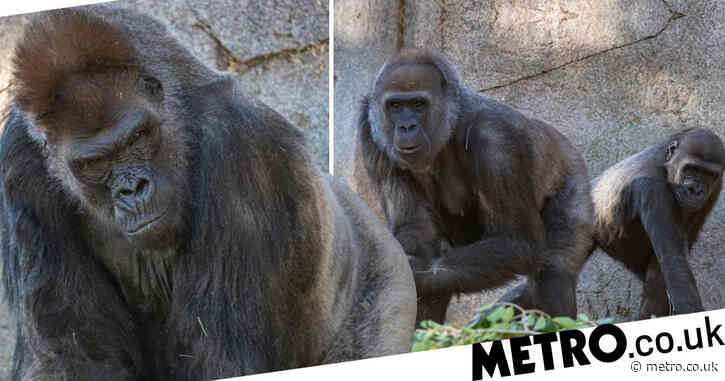Great apes given Covid vaccine in world-first after outbreak at zoo